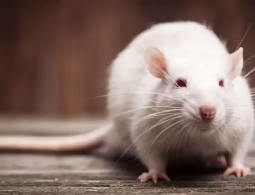 Study Finds That Rats May Have Nightmares Too
