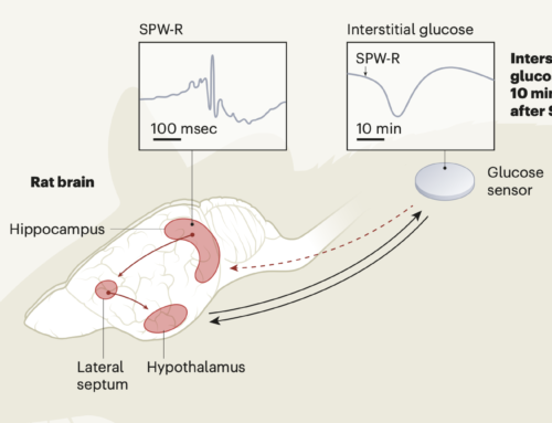 A signal to synchronize thought with metabolism